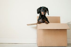 after a residential move- dog in a box